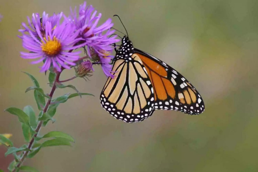 butterfly on aster flower