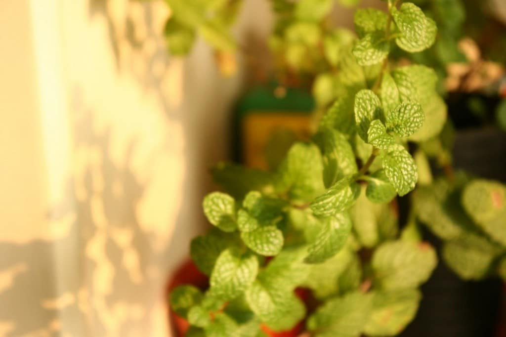 mint in herb planter