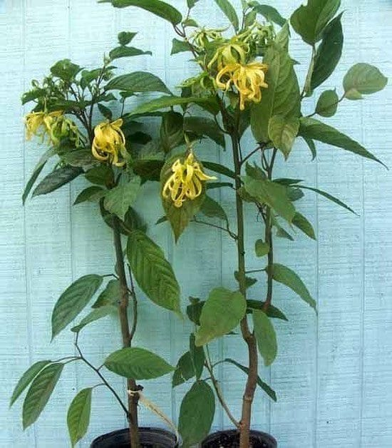To Grow It In Container Plant Cananga Fruticosa This Is A Dwarf Variety Of Ylang Only Grows Up The Height 2 3m After Training Can