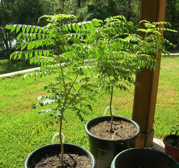 curry tree growing