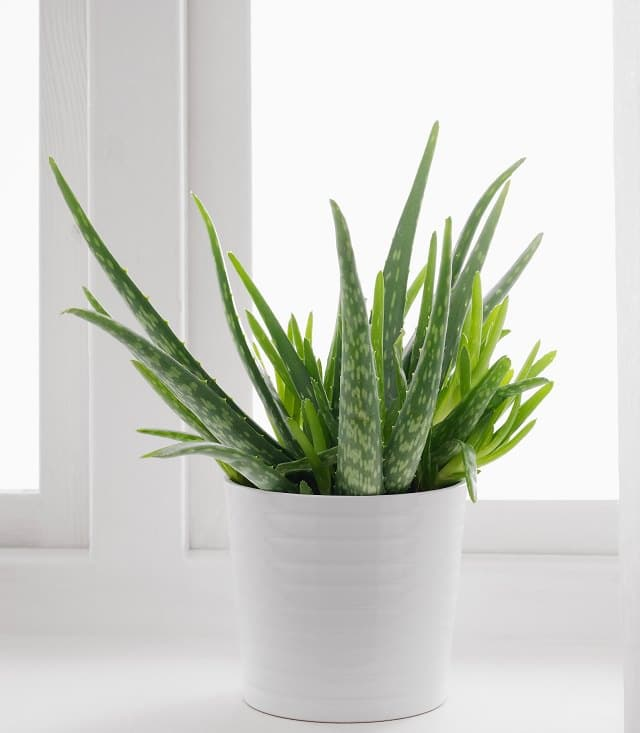 how-to-care-for-an-aloe-plant