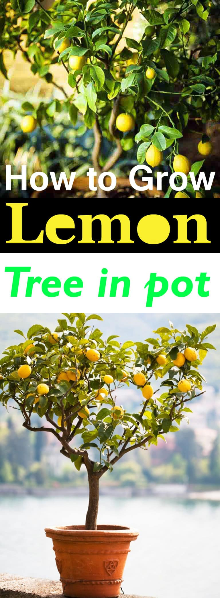 How to Grow a Lemon Tree in Pot | Care and Growing