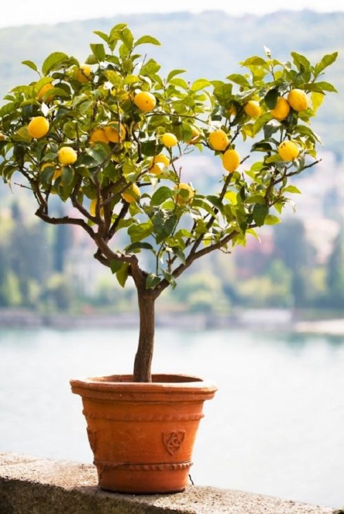 How to Grow a Lemon Tree in Pot 2