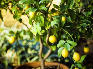 how to grow lemon in pot