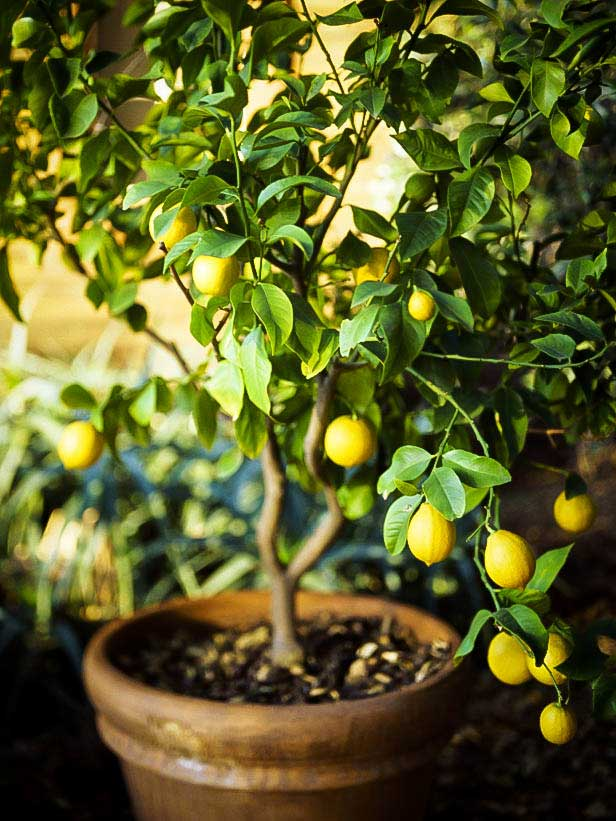 How To Grow A Lemon Tree Indoors