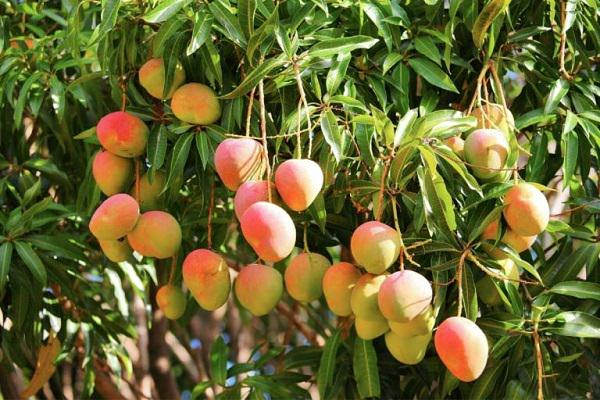 Learn How To Grow A Mango Tree In Container This Article Growing Pot Is Possible There Are Several Dwarf Varieties Available That Can