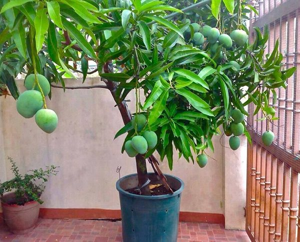 Learn How To Grow A Mango Tree In Container This Article Growing