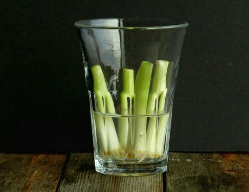 growing scallions in water