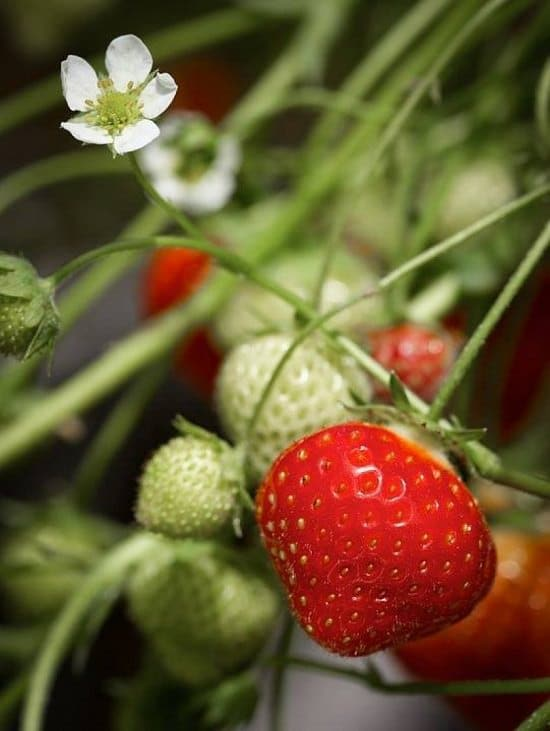 If you're a beginner and looking for one of the easiest fruits to grow, it's none other than strawberry. Growing Strawberries is really easy, a perfect fruiting plant for limited space gardeners.