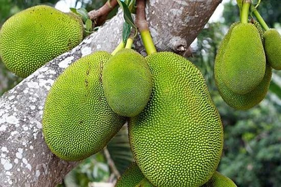 jackfruit cultivation and planting
