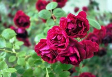 rose care tips