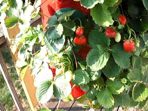 grow strawberry upside down
