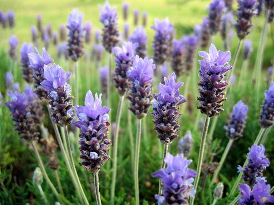 Tropical Lavender Guide To Grow Lavender In Tropics