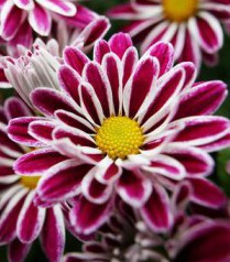 Chrysanthemum on balcony_mini