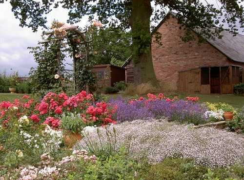borders of gypsophila, ground cover roses and lavender