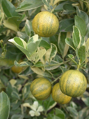 Image result for calamansi in cold weather
