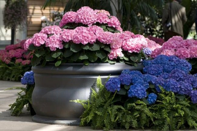 landscaping with hydrangea (14)_mini