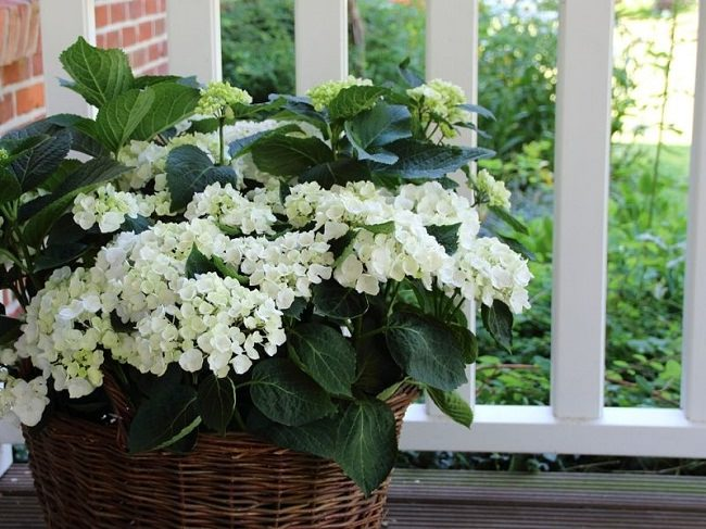 landscaping with hydrangea (5)_mini