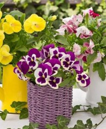 pansy balcony_mini