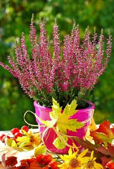 Growing Heather In Pots Planting And Care