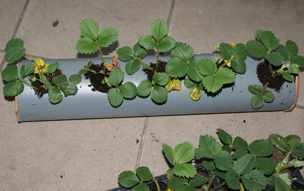 strawberries in rain gutter