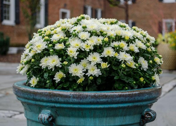 Chrysanthemums Are Perfect For Front Porches Patios Balconies And Terraces Often Grown As Annuals Growing In The Ground Is Only