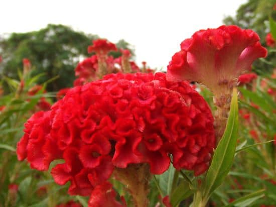How to grow celosia growing and planting guide celosia cristata mightylinksfo