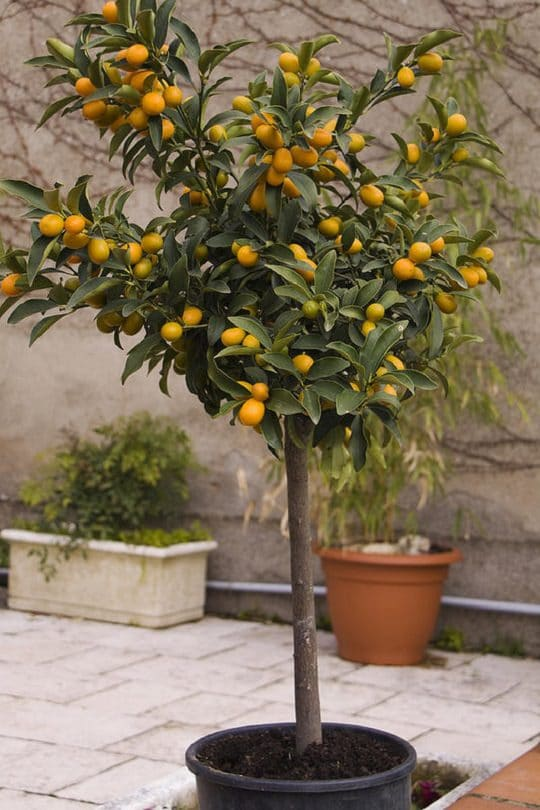 Growing Kumquat Tree