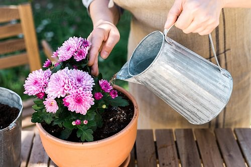 How to Grow Chrysanthemums in Pots 6