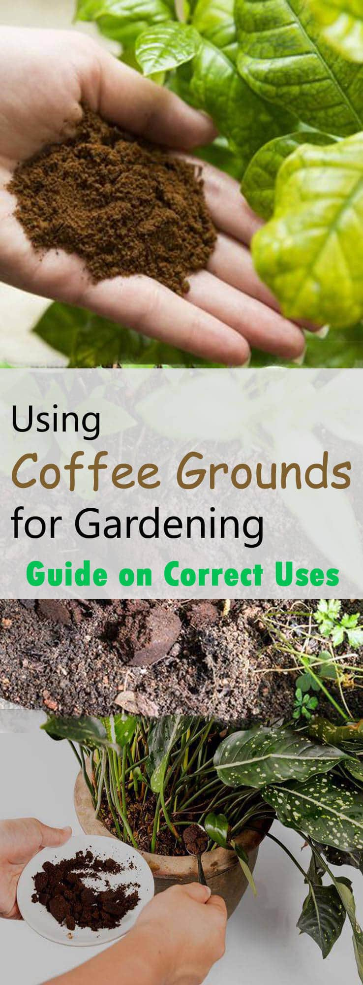 Using coffee grounds for gardening really helps? If yes, what are the correct ways to use coffee grounds in garden? Read this educative article for complete details.