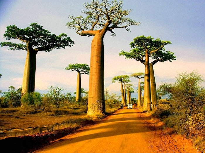 baobab tree picture