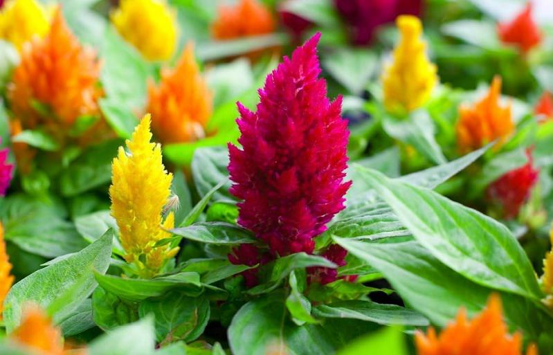 celosia plant care (cockscomb)