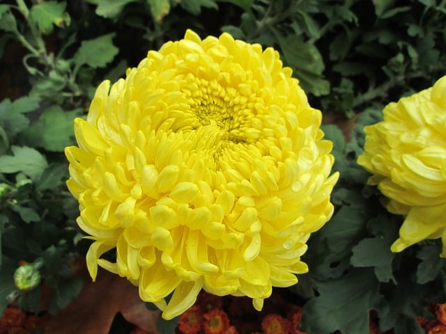 chrysanthemum-208163_640