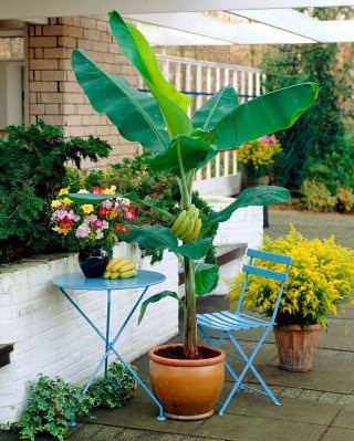 Growing Banana In Pots 2 Mini