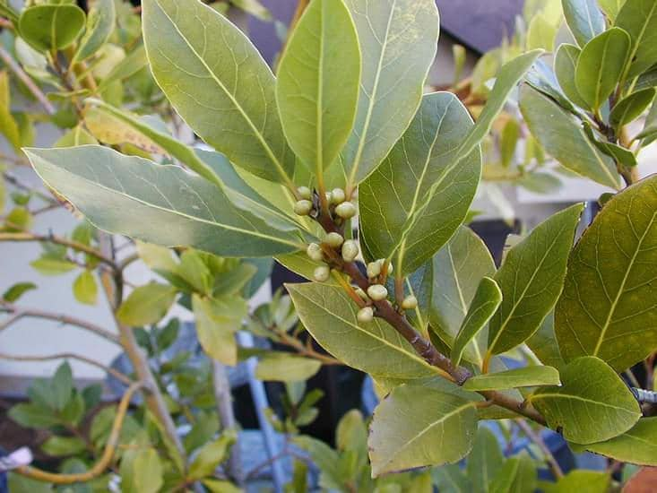 how to grow bay laurel tree