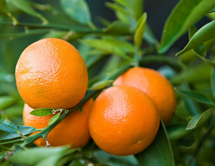 Growing clementines orange is delightful as it rewards you with juicy fruits, fragrant flowers, and aesthetic green foliage. You can also grow it in a pot!