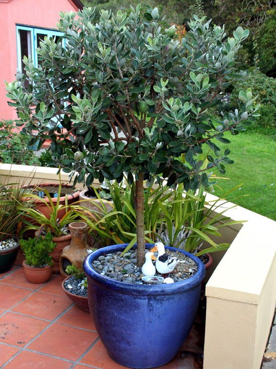 How To Grow Feijoa Growing Feijoa Pineapple Guava And Care