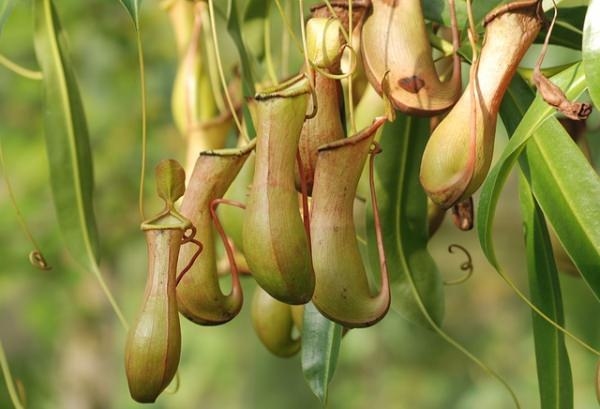 pitcher-plant_mini