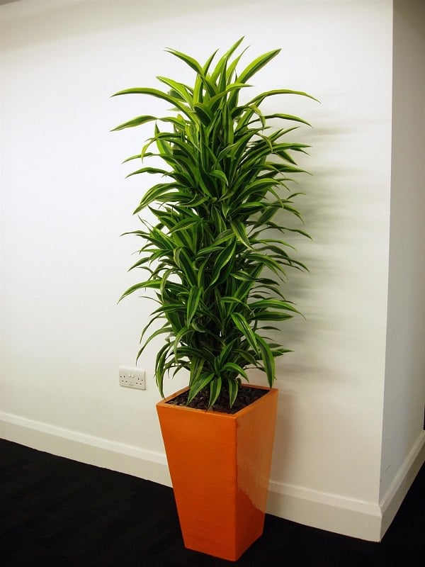 Dracaena Is A Beautiful Houseplant That You Can Grow At Home There Are About 50 Species Of It S Really Easy To Plant