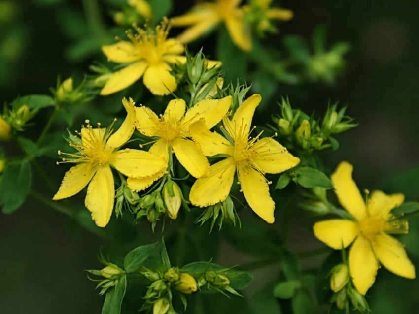 HOW TO GROW St Johns Wort_mini