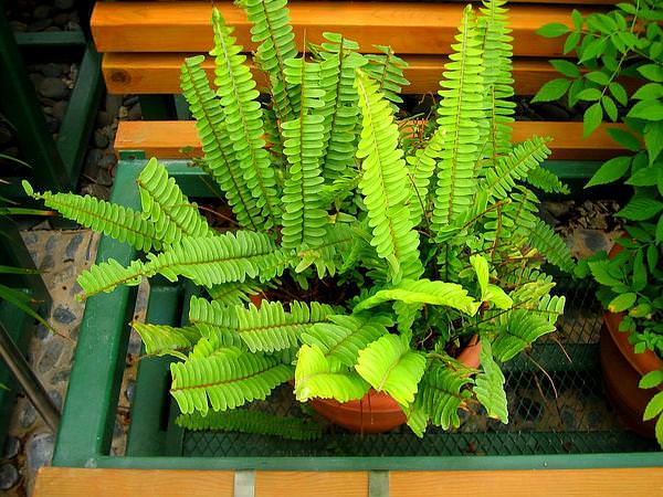 Tuberous_sword_fern_mini
