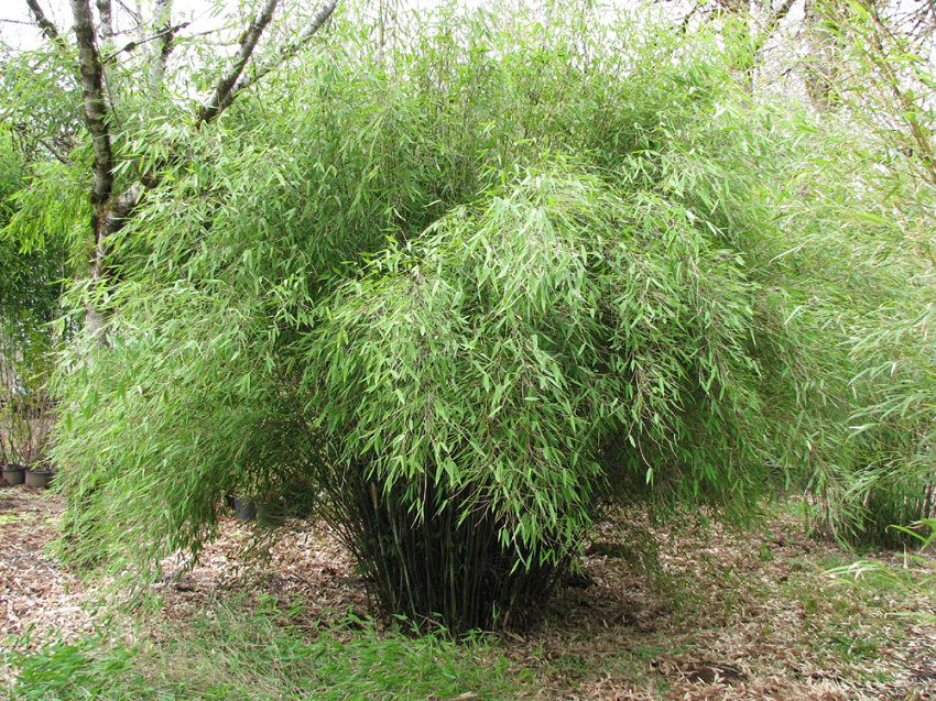 How To Grow Bamboo From Cuttings Planting Bamboo Cuttings