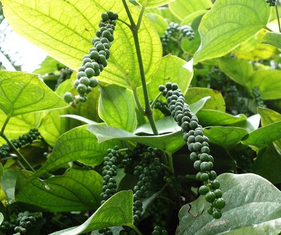 How to grow black pepper in garden