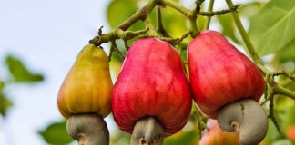 cashew nut growing