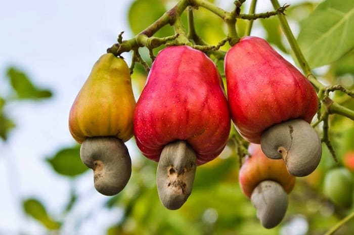 cashew nut growing_mini