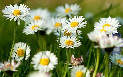 chamomile-flowers-summer-grass-herbs1st_mini