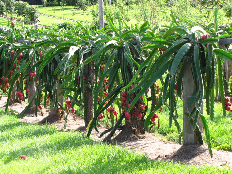 Pictures Of Dragon Fruit Plants