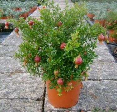 Requirements For Growing Pomegranates In Pots Pomegranate Trees Mini