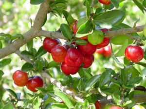 how to grow barbados cherry
