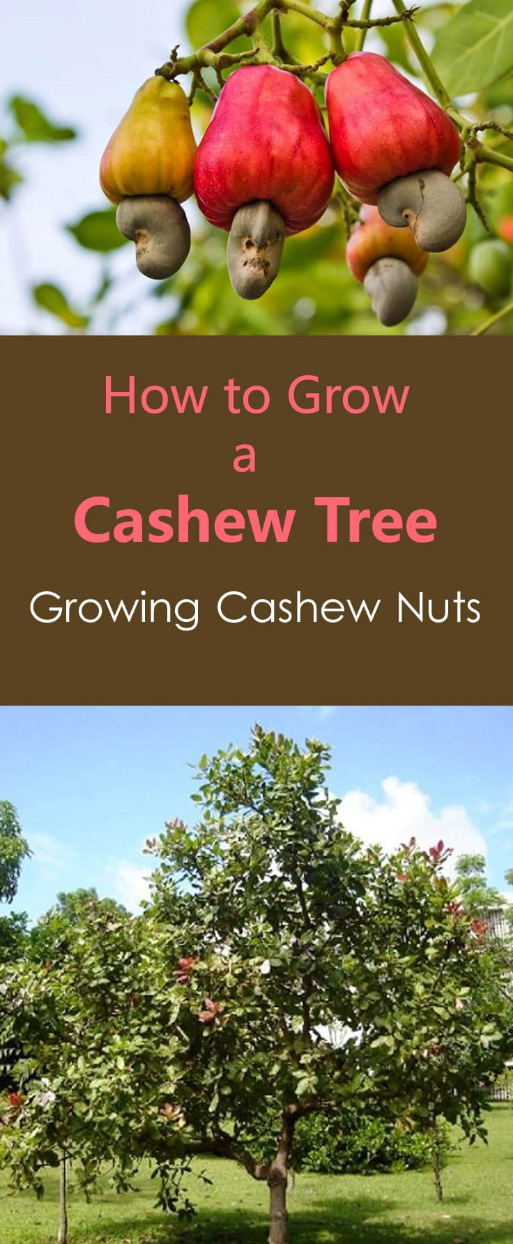 how to grow cashew tree